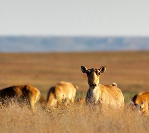 Saigas in distress – The mystery of the dead antelopes